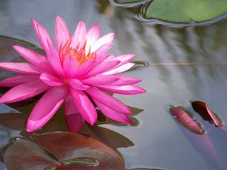 One_pink_lotus_83150339_std